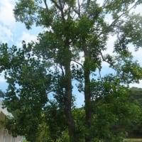「ユーカリ」の木、コアラはいないけど!