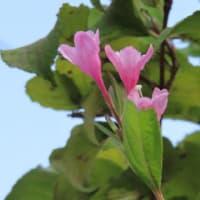 狂い咲き・・・3花