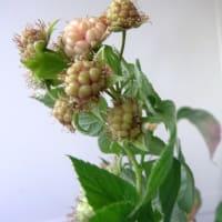 10月のラズベリー:10/8花から実へ、10/13初収穫~10/19 4個収穫