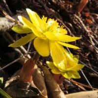 福寿草の花