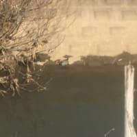 清明川の亀