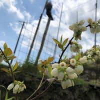 イチゴとブルーべリー開花