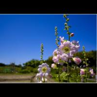 タチアオイ花が上へ