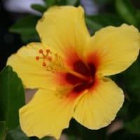 今ハワイ!~プールでのんびりお花でも眺めましょ♪~