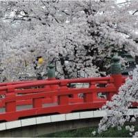 桜は満開になったけど・・・