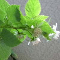 9月のラズベリー 9/19花が咲く