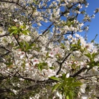 強風と、早咲き桜と、落ち椿!