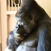 動物園・Gorilla by シャバーニ