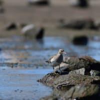 アメリカウズラシギ 幼鳥
