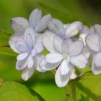 ヤマアジサイの花(9)「羽衣の舞」