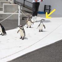 御子様ペンギンお散歩中・1