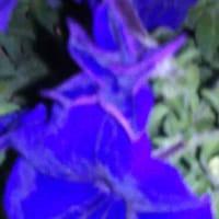 水無月18日 紫3番星形のまま