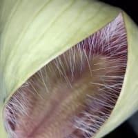 王犀角・開花の様子