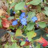 瑠璃色の花・紅葉のコラボが見たかったブータンルリマツリ ・ 自宅