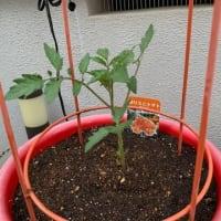 自宅にミニトマトの苗を植えたのです。