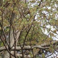 ミツバアケビ イヌシデのシデは紙垂