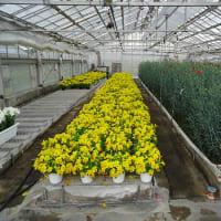 韓国岳のレットさんと、猫さんと農高ハウスの花とチューリップ。