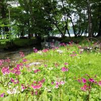 6月の花巡り 中禅寺湖千手ヶ浜 「クリンソウ」