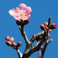 梅花がチラホラと咲き始めていました!