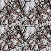 2020・02・19・ひろし曽爺の花鳥風月>♬どこかで春が♬白梅とコラボMovie223!