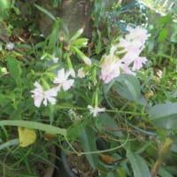 ブルーエルフィンが咲き始めた
