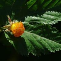 カジイチゴの果実-房総丘陵