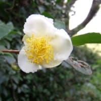 「おはようの花」 茶(ちゃ)