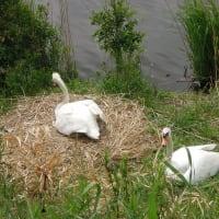 べつの巣でもヒナが誕生した!     2020年5月13日 水曜日