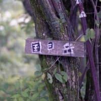 オクモミジハグマ(伊吹山北尾根で出合った奥紅葉羽熊)