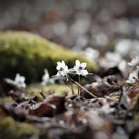 燈る星、節分草の春