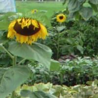 悲し気に頭を垂れる向日葵📷街角ぶらり旅