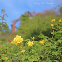 秋のバラが見頃:半田山植物園