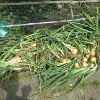 玉ねぎの収穫 190617