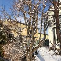 梅の木に雪の花が満開