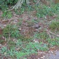 フクロウ(梟)が落ちてきた。=千葉市最重要保護生物指定種 ~ 台風15号の被害者か?(千葉市緑区)