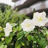 夕顔開花♪