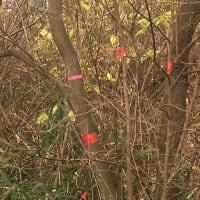 謎のピンクテープ、結局は伐採の印だった件。市民の立ち会いで、いのちを守れた樹木も。