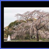 1970の万博記念の桜
