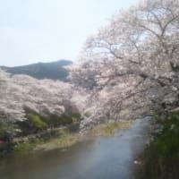 みね桜まつり