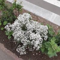 夏休み⑤ 実はカスミソウなのではないかと思っている花