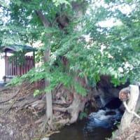 巨木探訪・万年橋のケヤキ