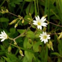 北海道の花・オオバナミミナグサ