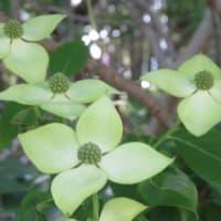 楽書き雑記「手裏剣のようなヤマボウシと超ノッポな種取り用ニンジンの花=名古屋市農業センター」