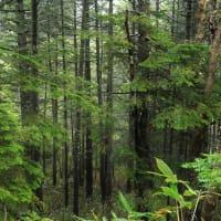 雨 尾瀬の樹林に降る・・・