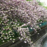 「八重桜」/二ケ領用水