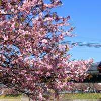 河津桜と185系踊り子号も見納め