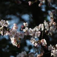 生態園のキンキマメザクラとセツブンソウ~京都府立植物園2020年2月下旬(1)