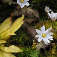 早春の山野草 雪割草、雪割一華