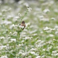 白そばの花畑でノビタキ~③~