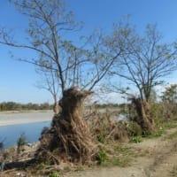 草が木の幹にからんだまま…多摩川水害その後